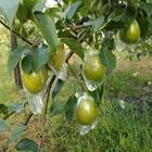Pears Pear Pear Pears From China Pears Fresh Fruit Hot Sale Pear