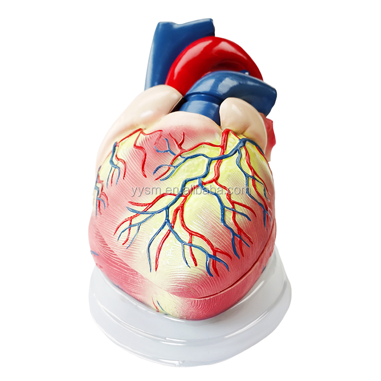 3D human anatomical model human giant heart model for One-stop supplier