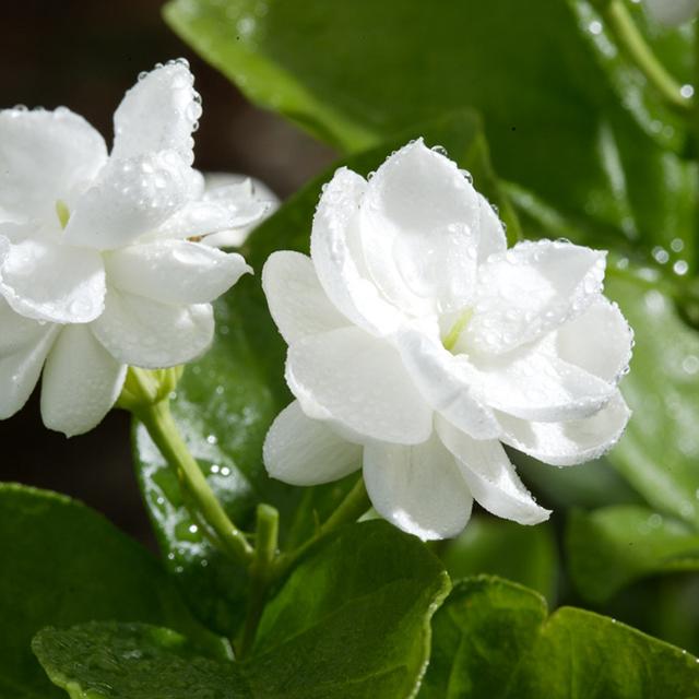 No Solvent Reisudes, Jasmine (Jasminum sambac) Absolute Oil