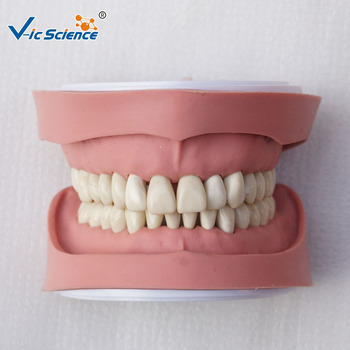 Factory Price Life Size Chinese Nissin Dental Teeth Model for Medical Teaching