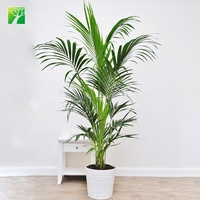 China ornamental evergrenn arbor Chrysalidocarpus Wendl palm tree for sale