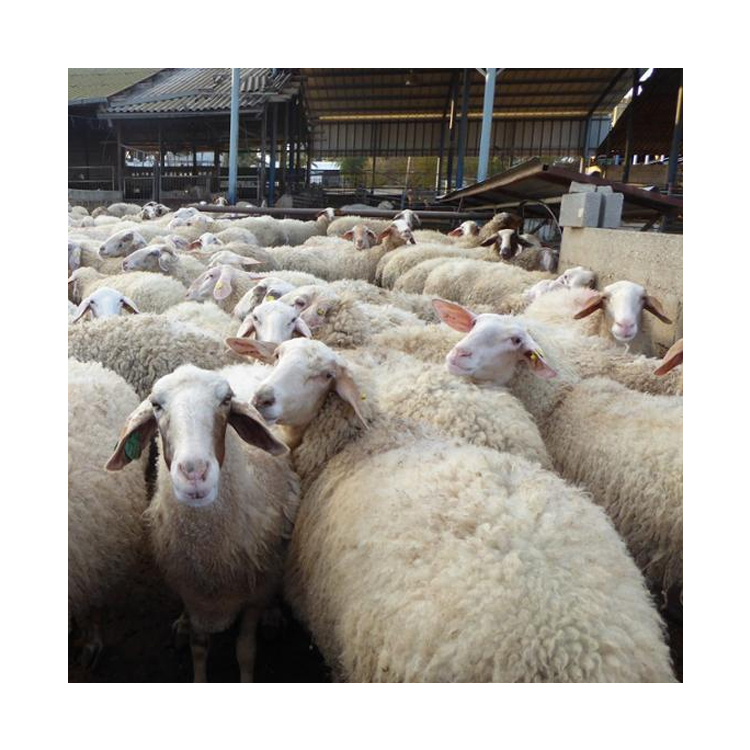 Low Market Price Healthy Certified Awassi Live Sheep