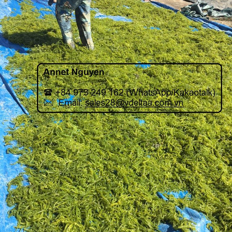 HIGH QUALITY DRIED SEA MOSS SEAWEED BEST PRICE FROM VIETNAM/Ms. Annet +84 973 249 162