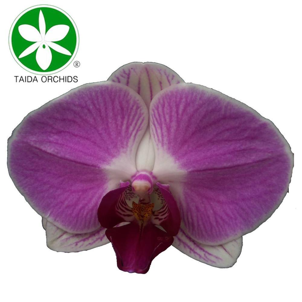 Фаленопсис цветок Орхидея для оптовых покупателей