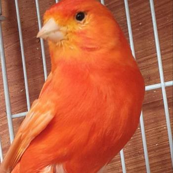 جميع طيور الكناري الحية العصافير طيور الحب يوركشاير للبيع Buy طيور الكناري والخصدير أربطة للساق الطيور للبيع بيض الطيور الحب للبيع Product On Alibaba Com