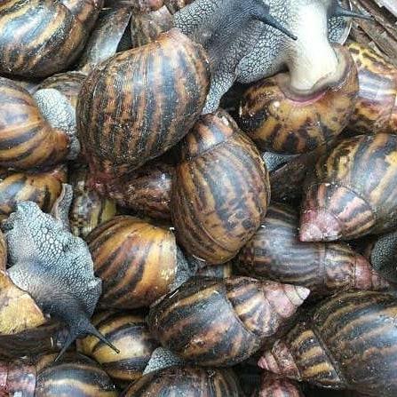 frozen African Land Snails