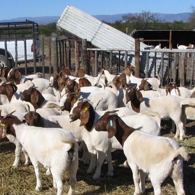 Здоровая Беременная трикотажная телка и Гольштейна телки крупного рогатого скота на продажу