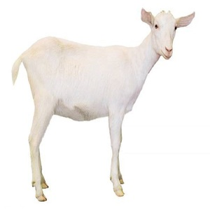 Dairy Saneen Goats best prices