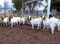 Alive Style and Livestock Product Type 100%FULL BREED BOER GOAT