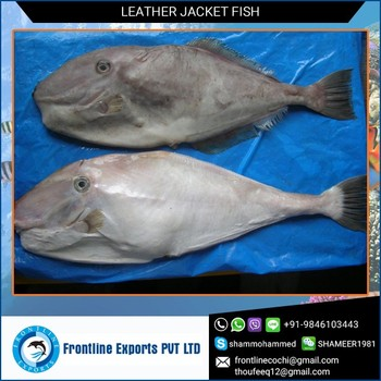 Bestselling Frozen Leatherjacket Fish for Wholesale Suppliers