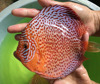 High Quality Discus Fish Breeder, Freshwater Fish Exporter, Wholesaler Live Aquarium Fish