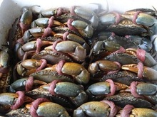 Hot Sale Live Mud Crabs /Live Seafood From Thailand