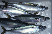 Best quality frozen fish and sea food mackerel