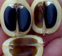 Grade A Jatropher Seeds
