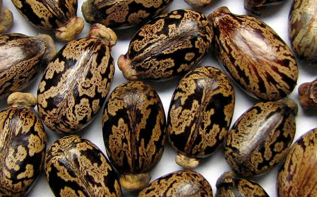 Image result for Castor Seed