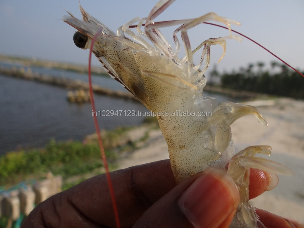 Feed probiotics for shrimp intestinal problems