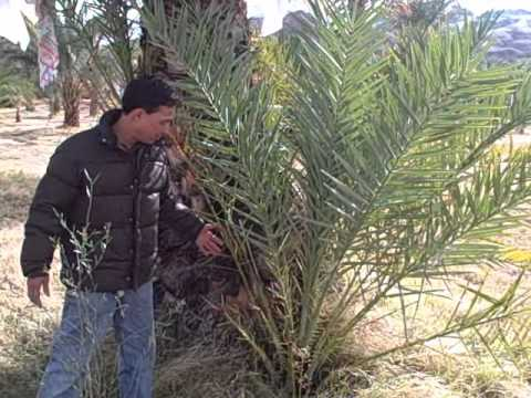 Harvesting Fresh Dates at China Ranch Date Farm near Las Vegas