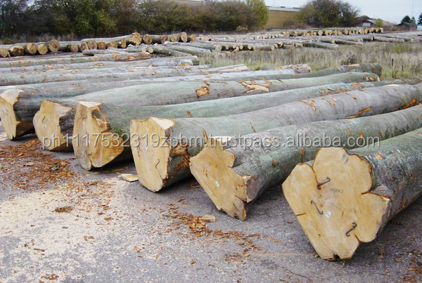 QUALITY EUROPEAN BEECH ROUND LOGS-S2S SAWN AND VENEER
