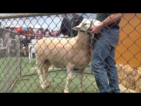 Elite Stud Sheep Sale