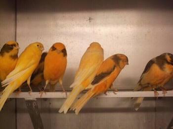 Resultado de imagen para Pinzones y canarios