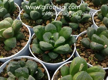 Cactus et plantes succulentes de italie haworthia hybride for Donde venden cactus
