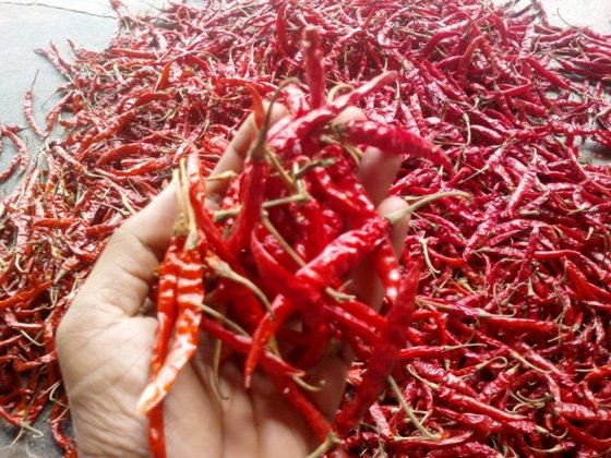 Supreme quality S14 Dry Red Chilli for Indonesia market