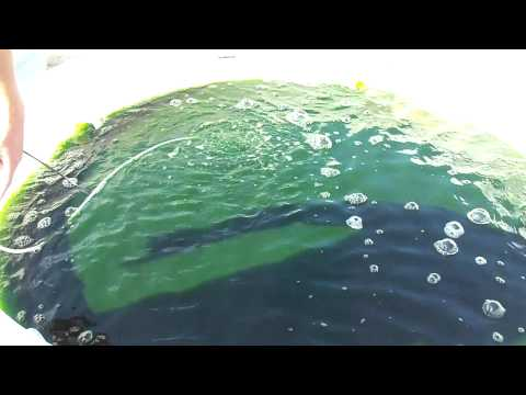 Commercial Algae Oil Production Part 2: Scenedesmus dimorphus 40 To 50% Oil By Weight)