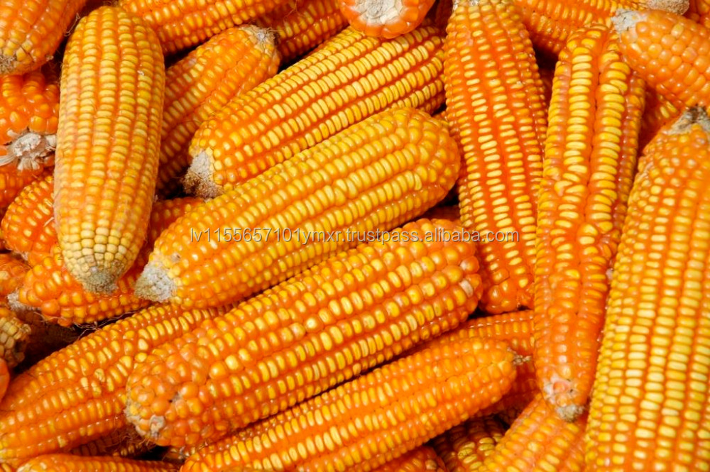 Quality Grade A Yellow Corn And Sweet Corn Kernels (new ...