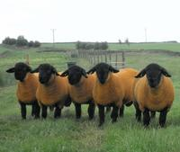 Outstanding Sheep flock for sale.