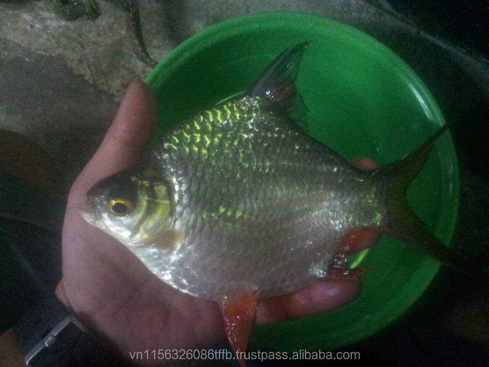 Viet Nam Supplier RED TAILED TINFOIL BARBS/Oligoplites altus