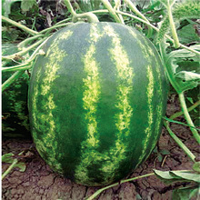 Fresh Watermelon For Sale