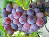 Grapes Fresh Fruits