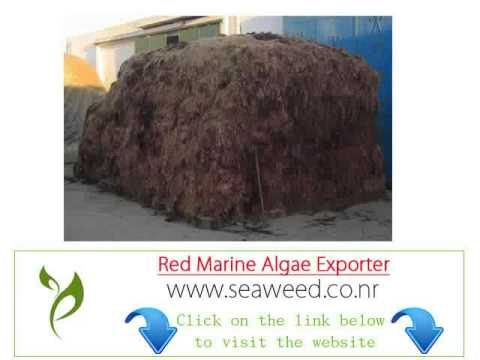 American red seaweed algae importer Exporter wholesale suppliers