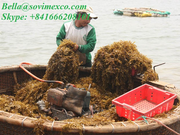 dried Sargassum seaweed_ for organic fertilizer