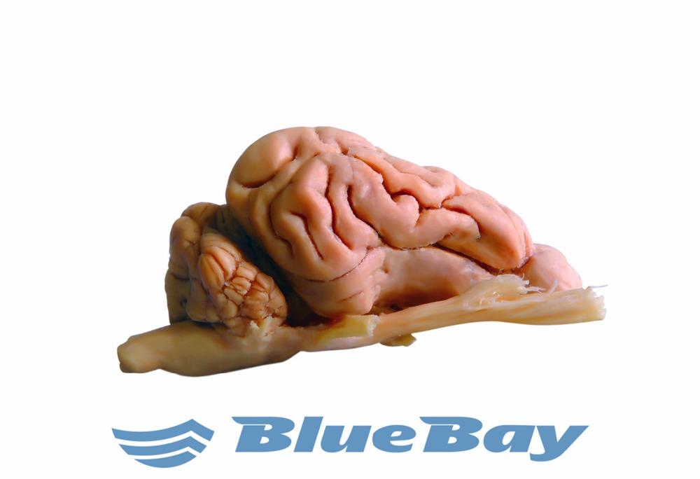 Plastinated Specimen-animal-pig-whole Brain - Buy Plastinated ...