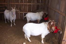 Top Healthy Live Boer Goats for Sale From Ukraine