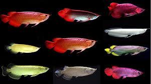 Arowana Fish Of All Kinds