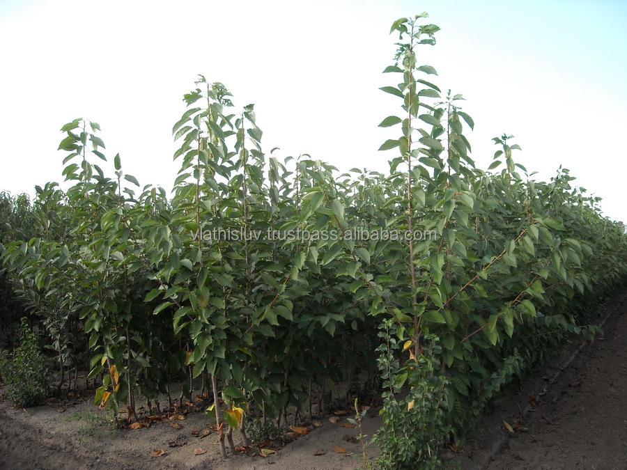Cherry / Sweet Cherry fruit trees / fruit plants from nursery