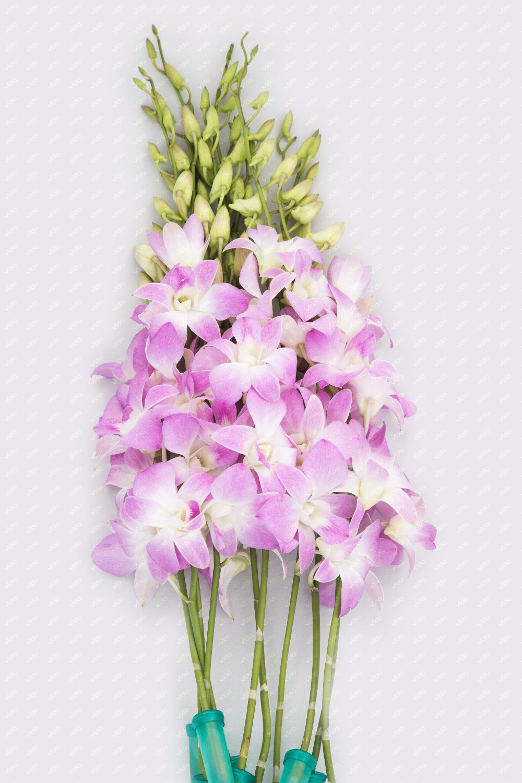 Fresh Cut Orchid Sonia Bom Dendrobium Buy Orchid