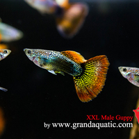 Tropical Freshwater Fish For Aquarium: Guppy,Platy,Koi Fish,Discus ...