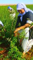 Organic Lemon Verbena Whole Leaves Herbal Infusion