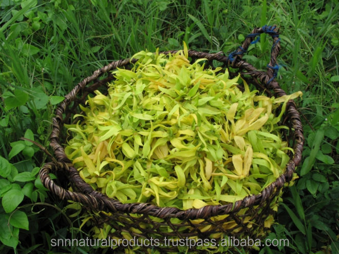 Ylang Ylang Essential Oil Top Class Manufacturer