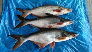 Frozen Swai Fish Buy Frozen Whole Fishfrozen Fish Dubaichina