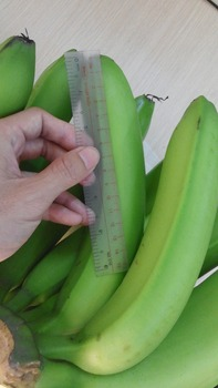 Fresh Bananas with high quality and competitive price