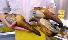 Frozen and Fresh Geoduck Clam