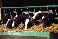 Pregnant Holstein Heifers, BOER GOATS, Sheep