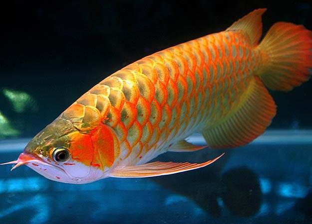 Arowana Fish Platinum