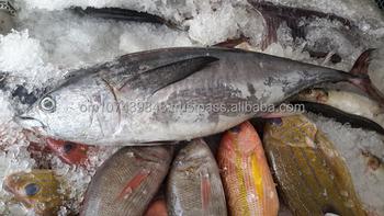 Long Tail Fresh Tuna Fish (omani) - Buy Long Tail Fresh Tuna Fish Frozan  Product on Alibaba com