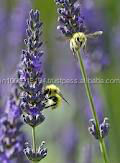 Bulky Lavender Oil for Perfume & Soap Uses