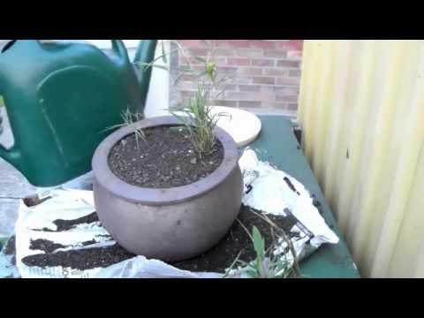 How To safely plant Creeping Black Bamboo in pots - running bamboo